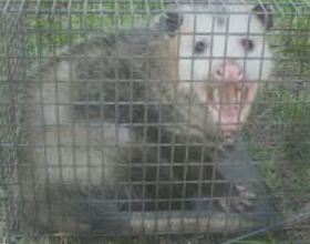 Possum Control & Trapping in San Diego, Riverside, & Orange County