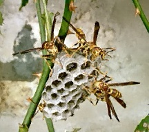 Wasp removal - paper wasps