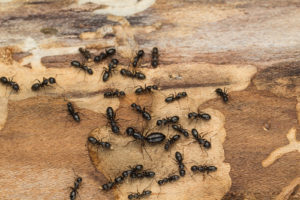 Ants scatter while scrawling on piece of wood