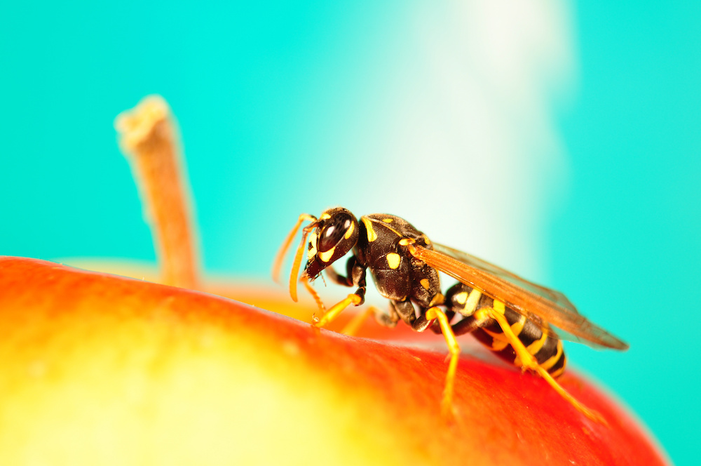 Bees, Hornets, Wasps, and All Things That Sting