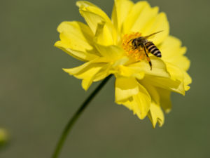 a bee lands on a yellow flower to pollinate it