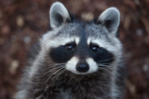 a racoon stares into the camera